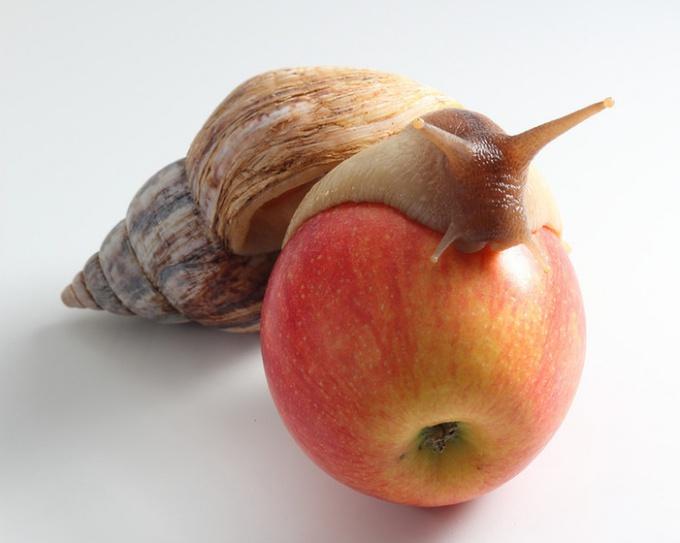 Чем кормить гигантскую улитку