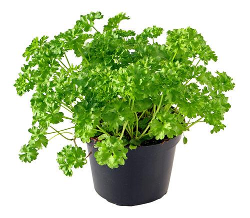 Чем полезна самая популярная свежая зелень