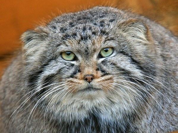 кот кошка отличие