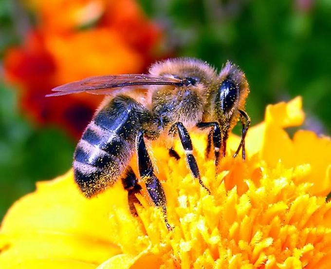 Что делать, если  укусила пчела в лицо