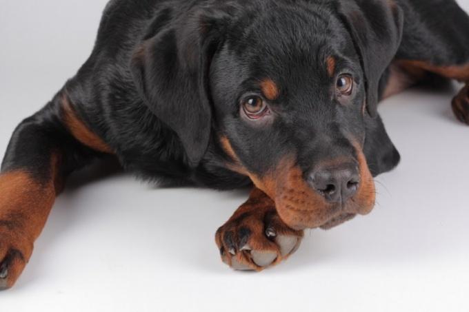 Какие могут быть последствия у собаки от укуса клеща