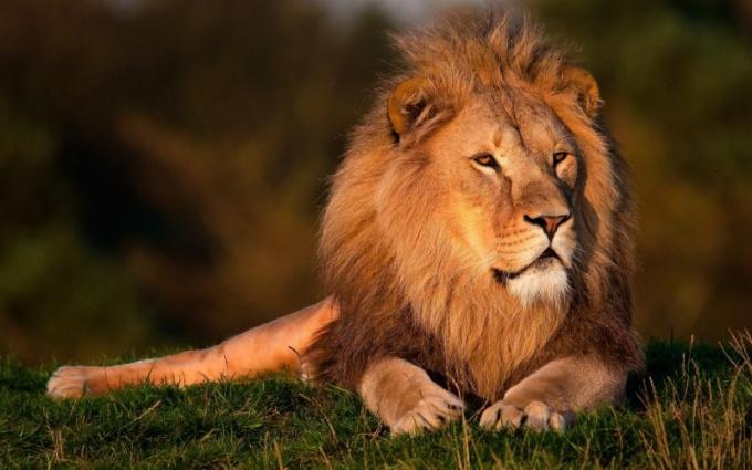 Зачем льву такая густая грива