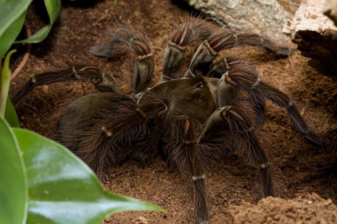 Птицеед-голиаф - крупнейший паук в мире