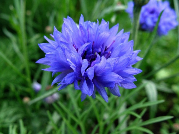 "Какой цветок назвали ""цветком кентавра"""