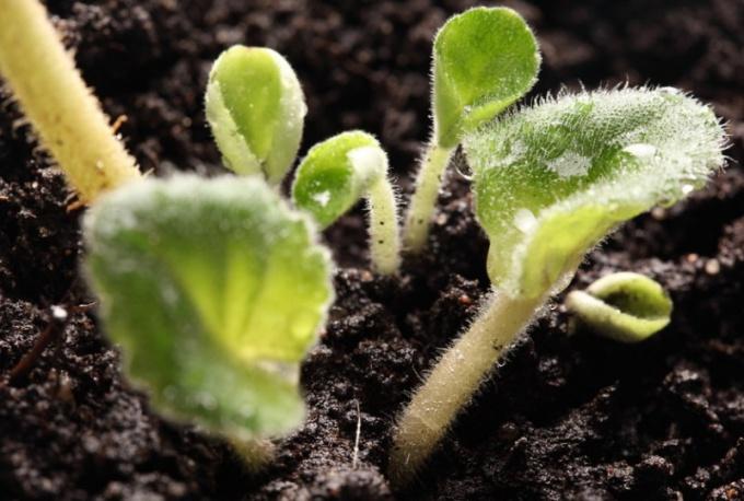 Что такое однодольные и двудольные растения