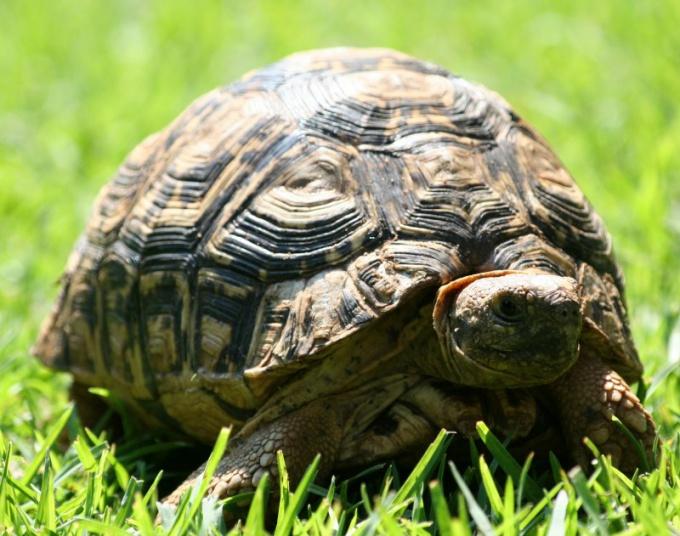 Сухопутной черепахе полезно погулять на травке