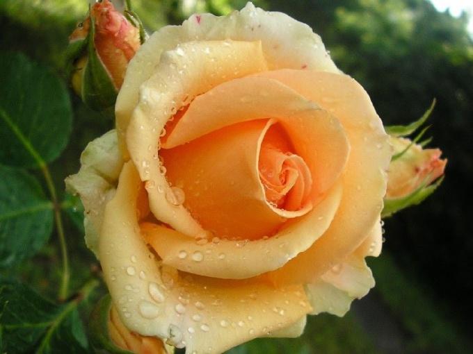 Какие розы называют чайными
