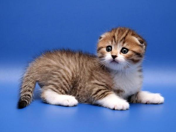 узнать, сколько стоит определенная порода кошки