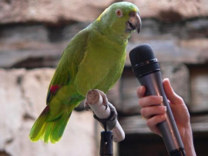 Как научить попугая разговаривать
