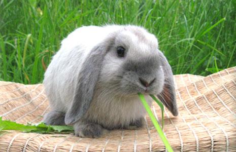 Как ухаживать за вислоухими кроликами