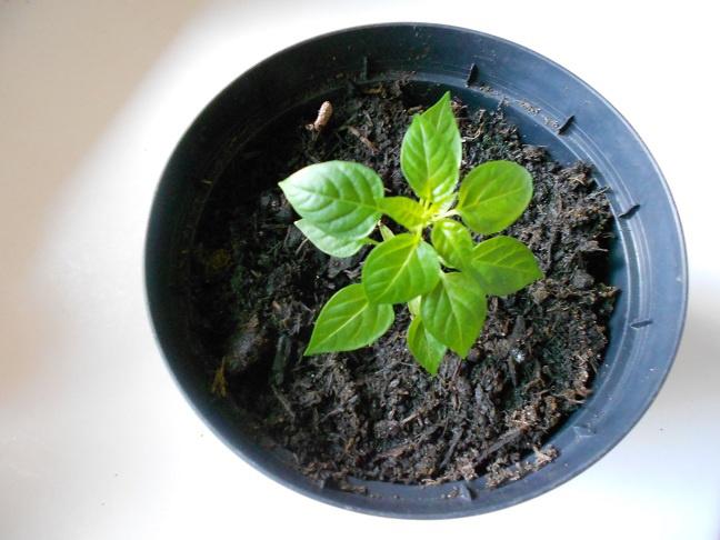 Как выращивать перец чили дома