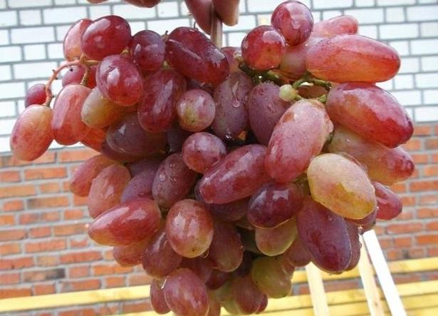 Сорт винограда Юлиан