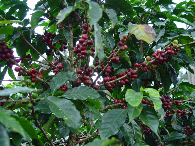 Как вырастить кофейное дерево дома
