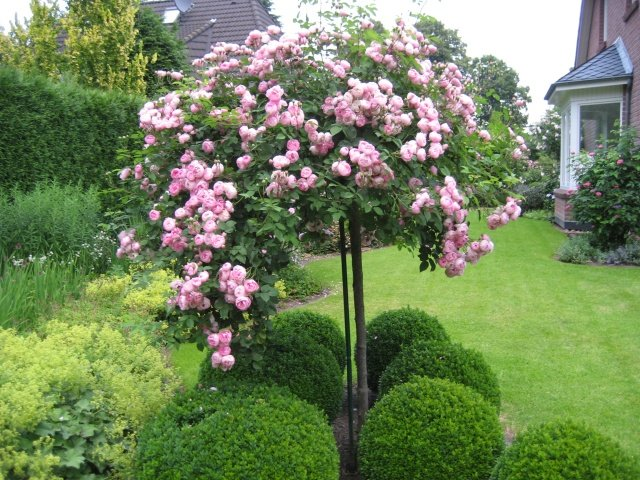 How to grow Stam rose