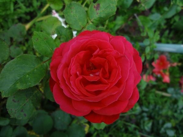 Розы на своем участке