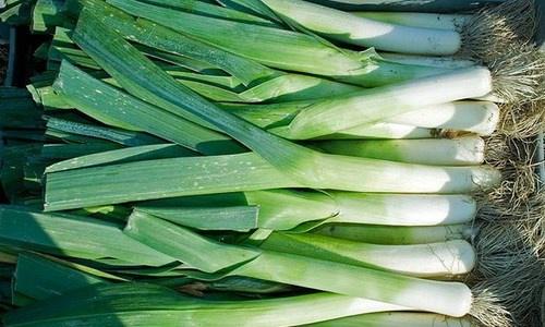 Как выращивать лук-порей