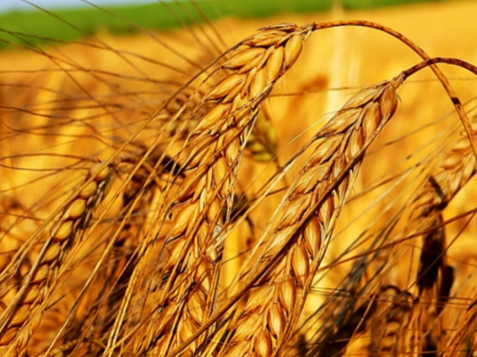 Wheat germ oil for beautiful skin
