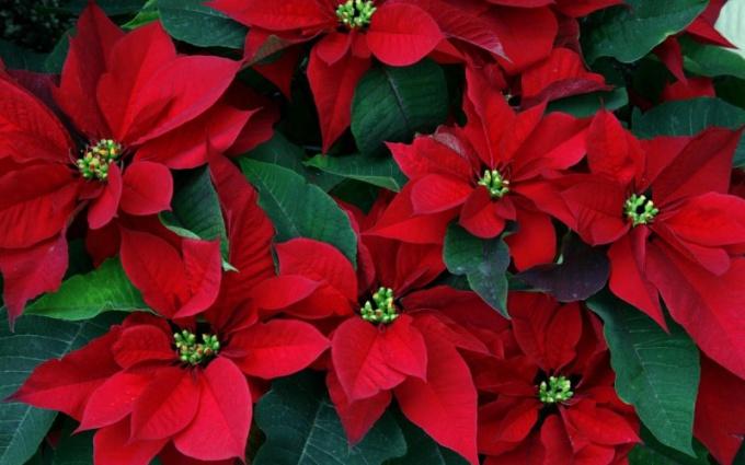 """Как ухаживать за цветком """"Рождественская звезда"""""""
