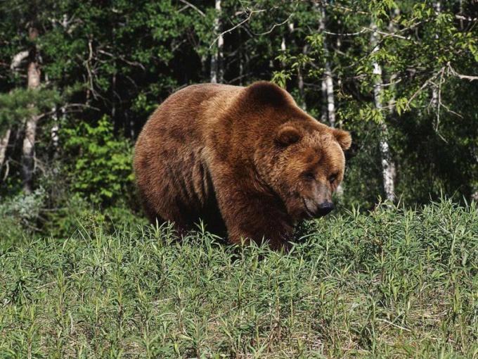 Какие животные живут в Красноярском крае