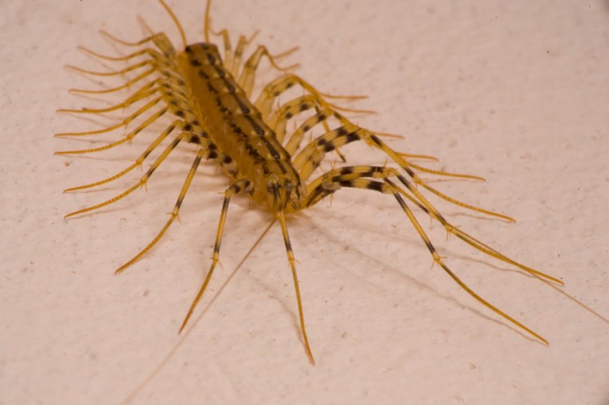 Looks like centipede and dangerous whether it is for a person