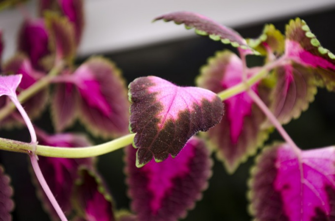 В вакуолях растений содержатся вещества, которые придают окраску листьям
