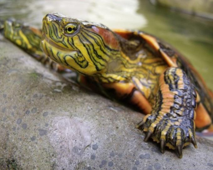 Как ухаживать за водяной черепахой
