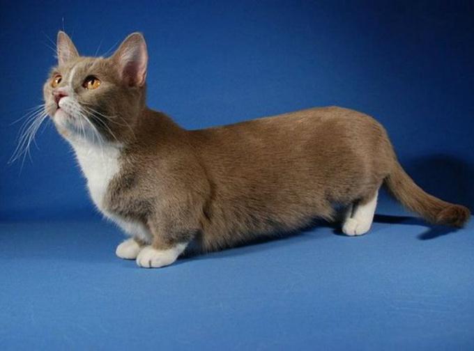 Какая порода кошек самая маленькая