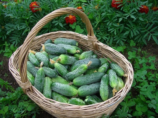 A good crop of cucumbers
