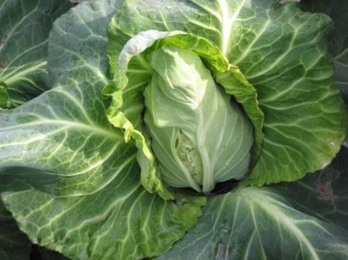Как солить капусту