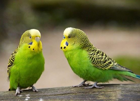 Почему умирают волнистые попугаи
