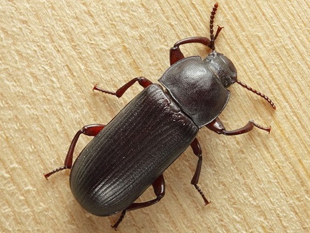 How to destroy black beetles in the house