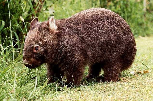 Редкое животное – вомбат