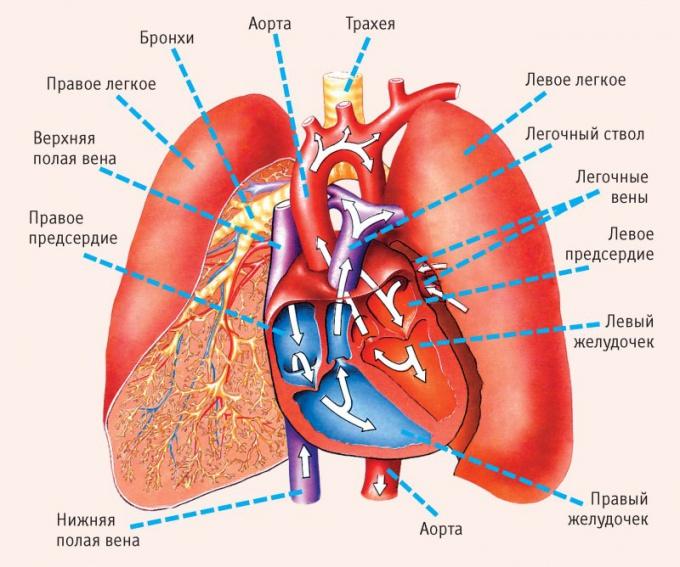 Из каких отделов состоит сердце