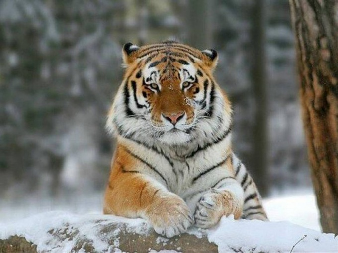 Как выглядит уссурийский тигр