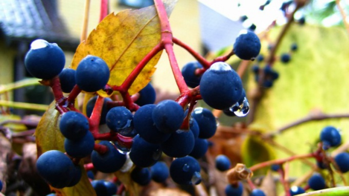 How to plant wild grapes