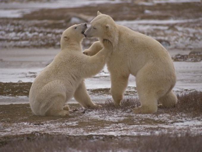 Сколько лет живут медведи