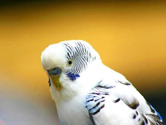 отучить волнистого попугая кусаться