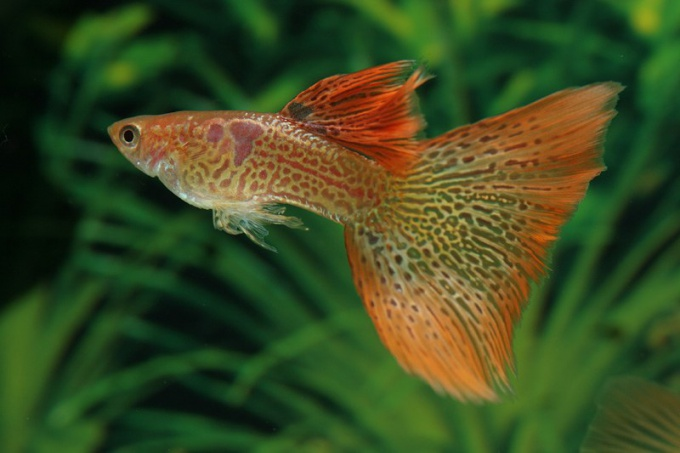 How to care for guppy fry