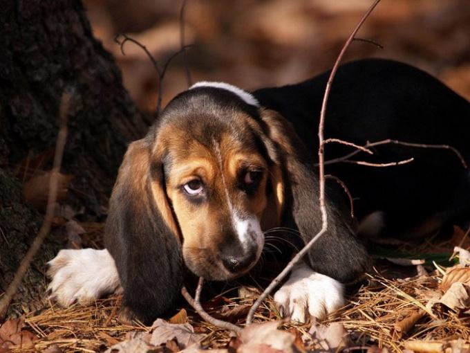 оказать первую помощь собаке после укуса клеща