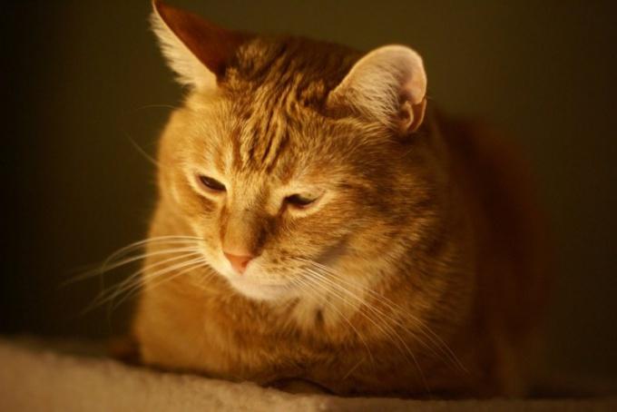 Рыжий кот - кусочек солнца в доме