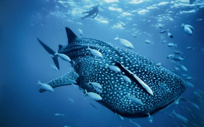 акула самая большая