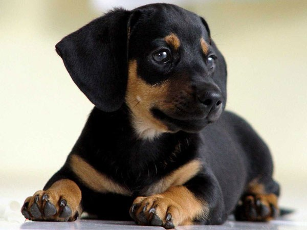 Какая нормальная температура тела у собаки
