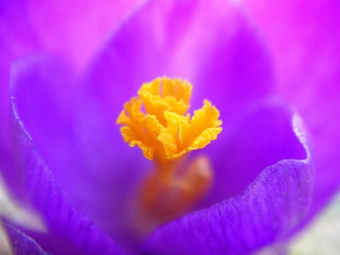 Что такое пурпурный цвет и почему он издревле считался королевским