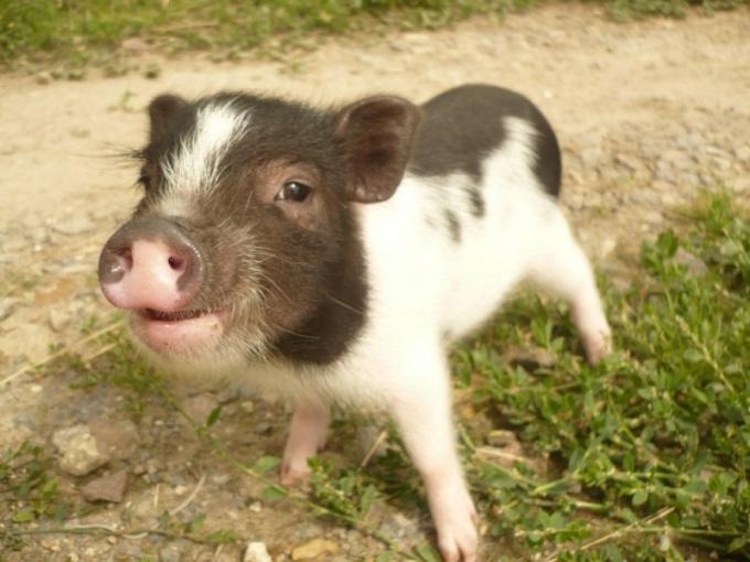Очаровательная мини-свинка породы «винезау»