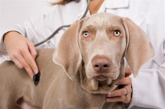 Как лечить больную печень у собаки