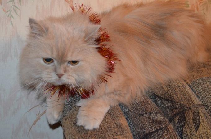 Как обрабатывать рану после кастрации кота