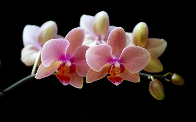 How to stimulate flowering orchids