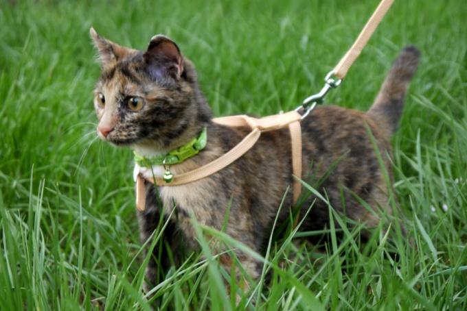 Как покупать кошке поводок