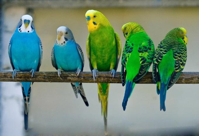 Как ухаживать за попугайчиками