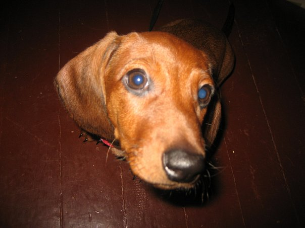 How to deal with Allergy in dachshunds
